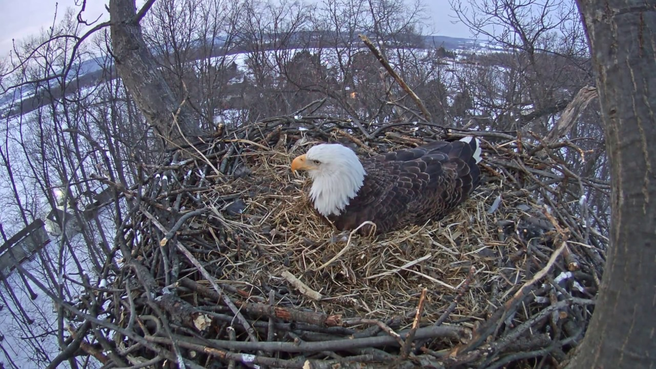 eagle nest singles & personals Dating shelly bigfoot caught on camera beneath a bald eagle nest initially placed to capture the hatching and development of two baby bald eagles.