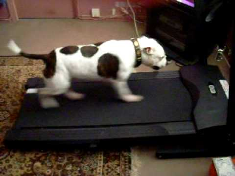 staffy bull terrier working out on a treadmill from YouTube · Duration:  3 minutes 19 seconds