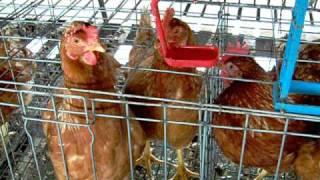 élevage de volaille en Thailande