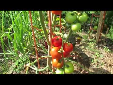 Tomato Profile: Matina  - A German Heirloom, Early Indeterminate - TRG 2014