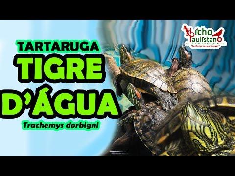 TARTARUGA TIGRE D
