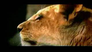 Las Vegas MGM Grand Lion Habitat
