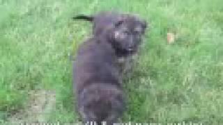 German Shepherd Pups - Ash X Greta 2008 - Week 5