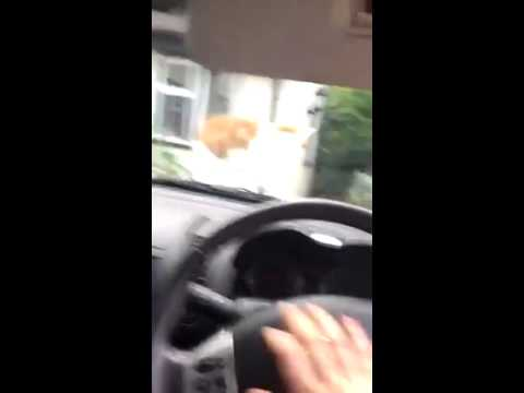Funny Cat on Car Jumps with a Beep