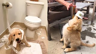 Funny and Cute golden retriever Puppies Compilation #6 - Cutest Golden Puppies