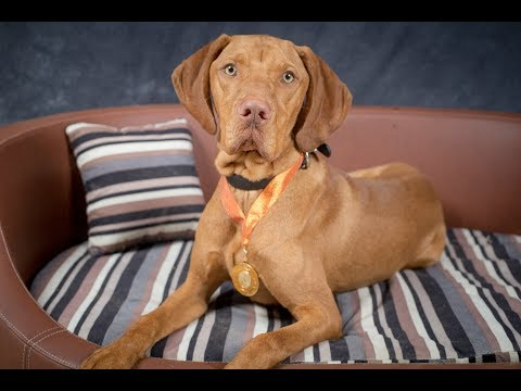 Teddy - Hungarian Vizsla - 4 Weeks Residential Dog Training UK & USA
