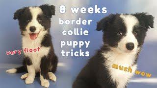 8 weeks Border Collie Puppy Tricks
