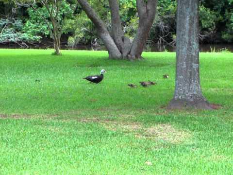 Baby Duck Invasion