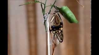説明 ベランダーの柑橘類植木でアゲハ蝶が羽ばたき していたので 写真を...