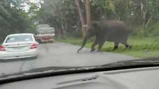 indian elephant attack. mudumalai national park tamil nadu