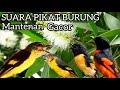 Suara Pikat Burung Mantenan Paling Ampuh  Mp3 - Mp4 Download