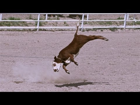 Rodeo Roping - Cruelty Exposed