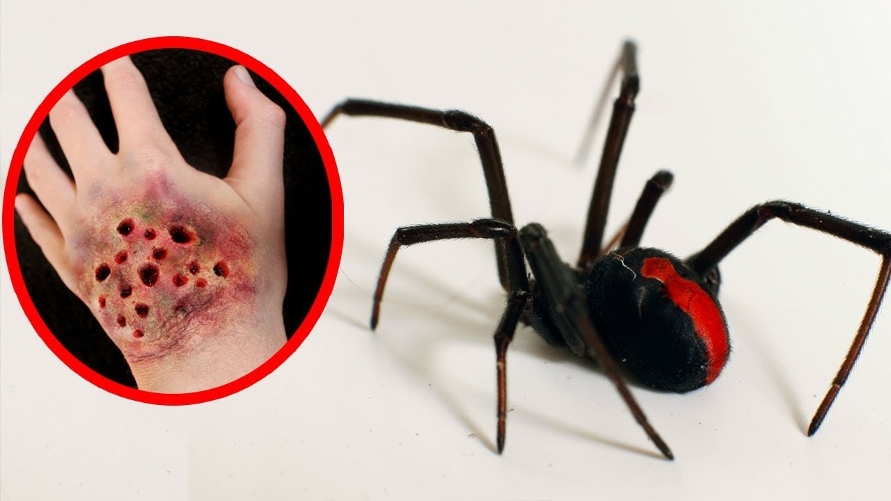 Download THE MOST POISONOUS SPIDERS In The World