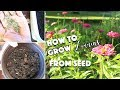How To Grow Zinnias From Seed / Saving Seed / Winter Sowing & Pest Control/ / A Beautiful Nest Tv