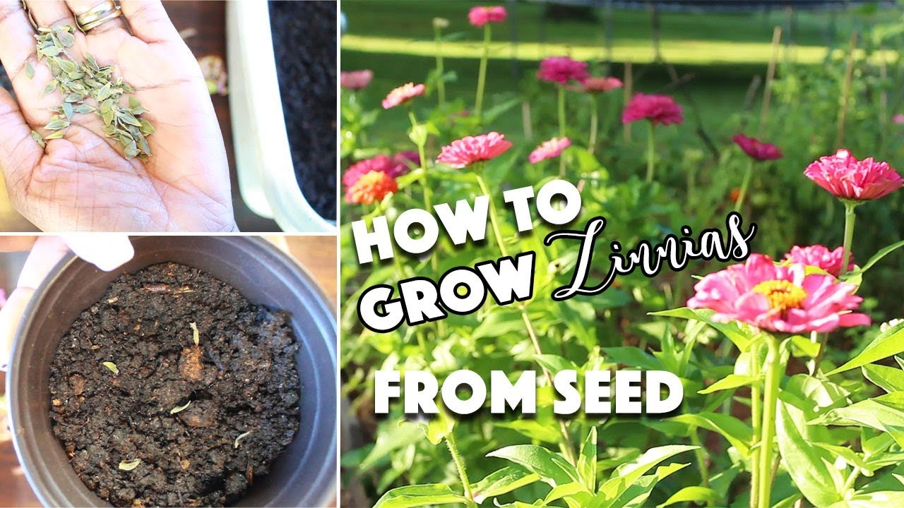 How To Grow Zinnias From Seed Saving Winter Sowing Pest Control A Beautiful Nest Tv