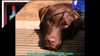 Dog Ear Treatment For Labs.mp4