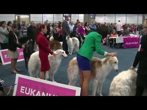 Borzoi in World dog show 2017