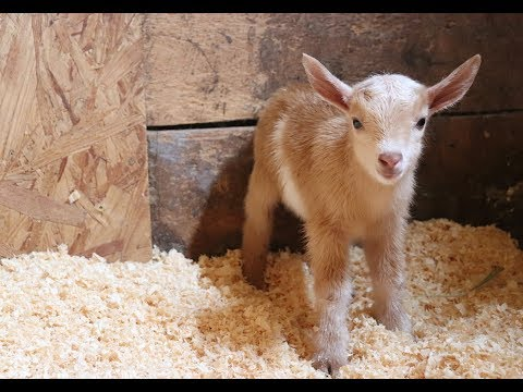 Newborn Goat Hector Makes Friends with Barn Kittens