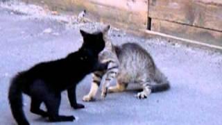 lotta fra gatti