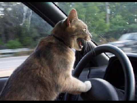Cat Driving A Car Image