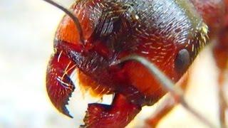 Биология для детей Муравей под микроскопом Изучаем жизнь муравьев
