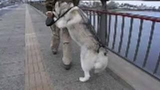 Walk hand in hand, siberian husky hana