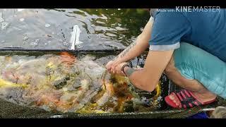 Đi mua cá Koi đủ loại tại trại cá Thanh Liêm quá bất ngờ vì giá rẻ