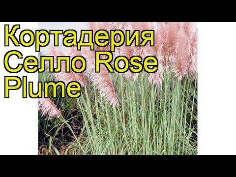 Кортадерия селло Розе Плум (Rose Plume). Краткий обзор, описание характеристик, где купить саженцы