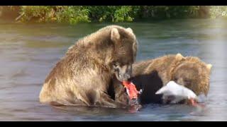 니들이 연어맛을 알아? 불곰의 연어사냥