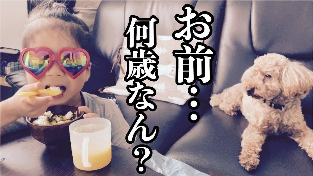 🐶【トイプードル】朝食からにぎやかな我が家の風景【犬】【toy poudre】【dog】