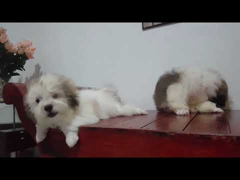 Puppy Mix Shih Tzu And POODLE 3month Old