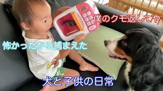 【犬と子供の日常】均のクモのおもちゃで盛大遊ぶ バーニーズマウンテンドッグ  bernese mountain dog