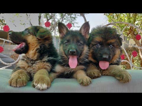 Show Quality German Shepherd VS Pet Quality,,Long caot, Double coat vs short coat, - Doggyz World