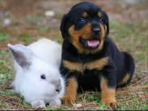 Rottweiler Lab Mix Puppies In Actions Youtube