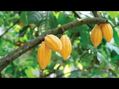 A Growing Global Demand for Tea, Cocoa and Coffee - NatureBank Asset Management