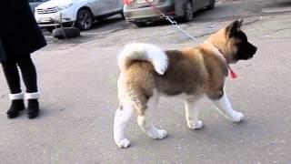 ЧУДНАЯ ПОПКА!Американская АКИТА American Akita puppy.Odessa.