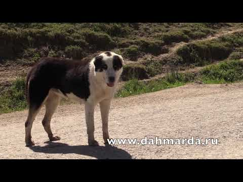 видео: Овцы породы Джойдори и Саги дахмарда из Айнинского района.
