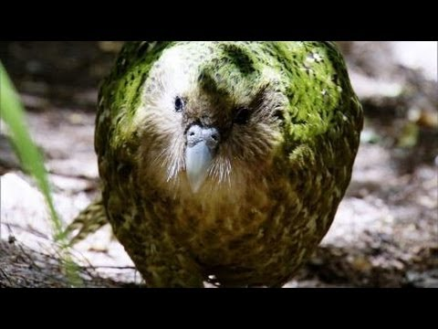 Flightless Parrot - Benedict Cumberbatch narrates South Pacific - BBC