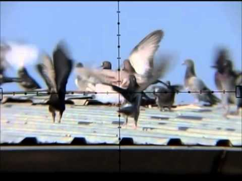 air rifle hunting pigeon
