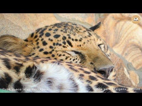 Спят любимые зверюшки:) Тайган. Favorite little animals are sleeping:) Taigan