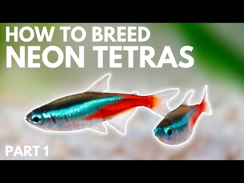 How To Breed Neon Tetras: Getting The Eggs (Part 1)