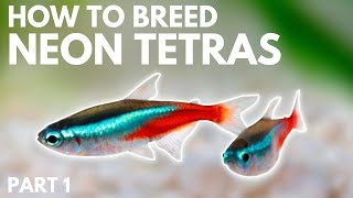 How to Breed Nęon Tetras: Getting the Eggs (Part 1)