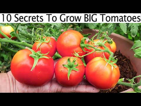 Grow Tomatoes NOT Foliage - Part 2 Of Tomato Growing Tips