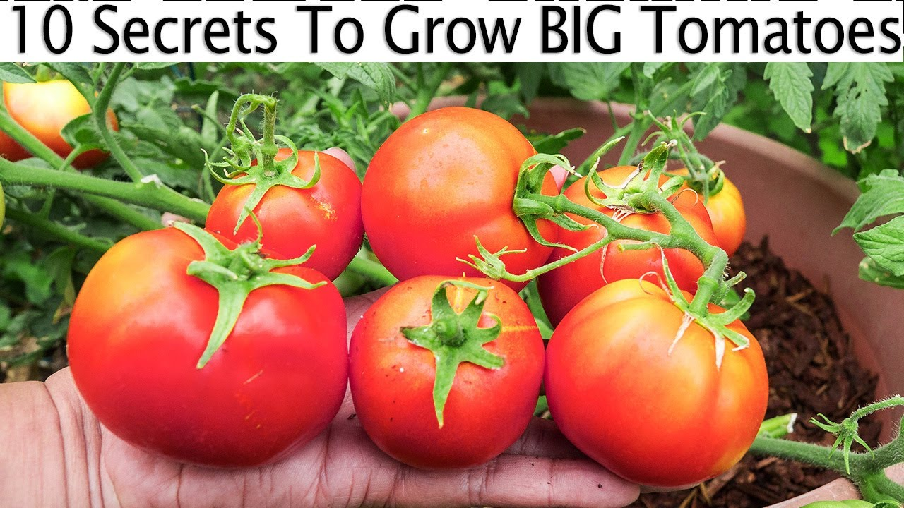 Grow tomatoes not foliage part 2 of tomato growing tips for Tomato gardening tips