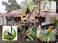 Masteran Murai Batu Suara Jernih  Mp3 - Mp4 Download