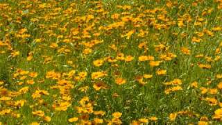 Watch Charlie Rich A Field Of Yellow Daisies video