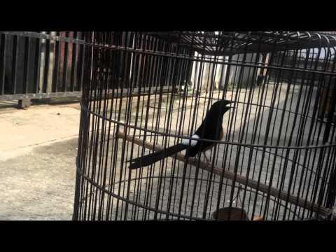 burung murai batu kimseng si bordan banglim