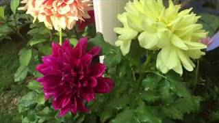 Download Video Dahlia Plant || how to grow and care to get big flower || Dahlia plant complete guide MP3 3GP MP4