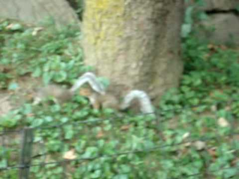 Squirrels fighting....funny