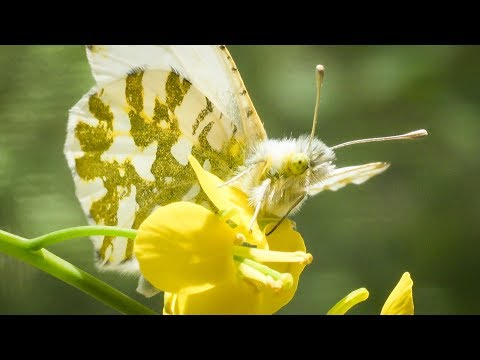A Climate Rescue Mission For Puget Sound's Rare Butterfly